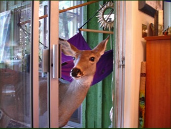 Deer peeking in